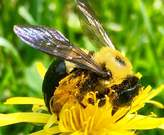 Seriously, look at her! Glorious bumble bee just loving the dandelion pollen!!