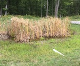 Treated cattails in a micropool.