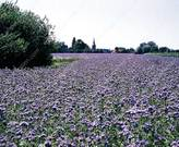 Field of Phacelia, picture courtesy of www.phpetersen.com