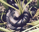 Black Rat Snake eating a sparrow. Things you see at a wetlands workshop!