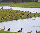 Canadian Geese in stormwater pond. Photo Credit: Tri-State Wildlife Management