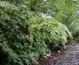 Japanese knotweed is an invasive plant problematic along streams