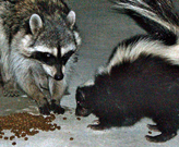 Raccoon and skunk eating pet food.  Photo credit: MTLskyline